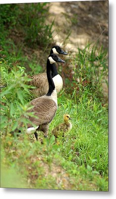 Geese And Gosling Metal Print by Kim Pate