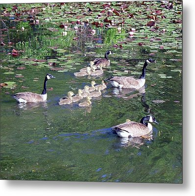 Geese And Goslings Metal Print