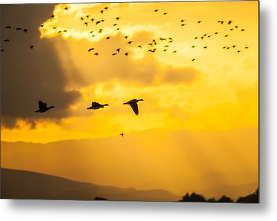 Geese At Sunset-2 Metal Print by Brian Williamson