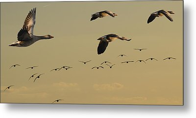 Geese Charter Metal Print by Michael Mogensen