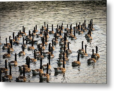 Geese In Sunset Light Metal Print by Menachem Ganon