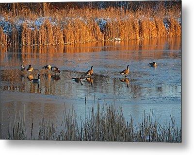 Geese In Wetlands Metal Print