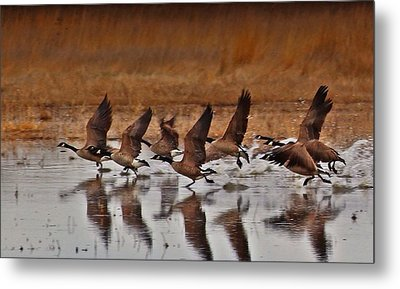 Metal Print featuring the photograph Geese On The Run by Lynn Hopwood