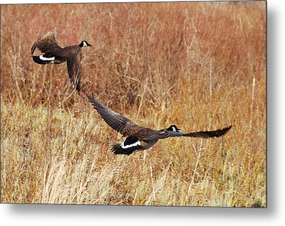 Geese - Taking Off In Flight Metal Print by Janice Adomeit