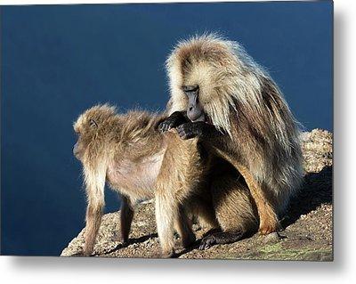 Gelada Baboons Grooming Metal Print by Peter J. Raymond