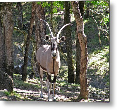 Gemsbok In The Woods Metal Print by CML Brown
