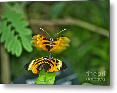 Metal Print featuring the photograph Gentle Butterfly Courtship 03 by Thomas Woolworth
