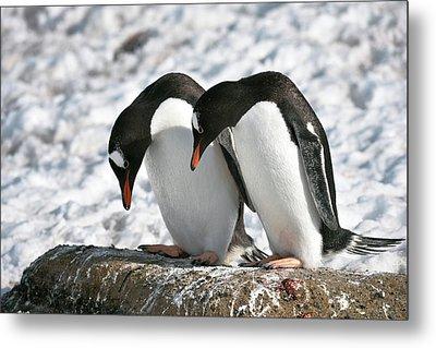Gentoo Penguins Pair Bonding Metal Print