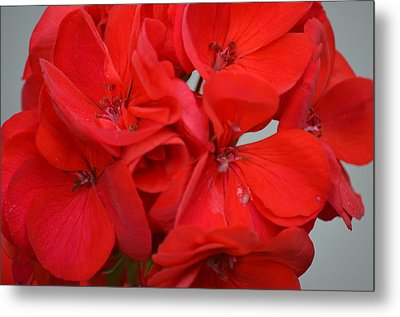 Geranium Red Metal Print by Maria Urso