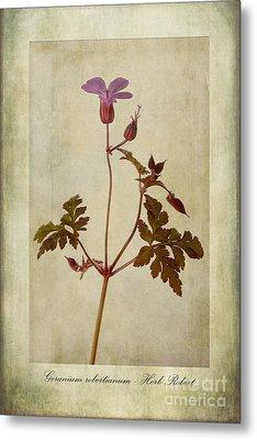 Geranium Robertianum Metal Print by John Edwards