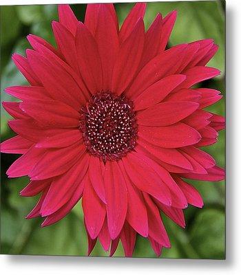 Gerber Daisy In Red Metal Print