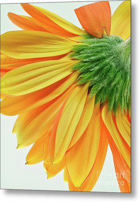 Gerber Daisy Number 1 Metal Print by Art Barker