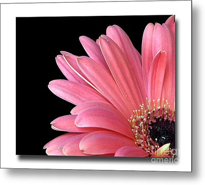 Metal Print featuring the photograph Gerbera Encore by Chris Anderson