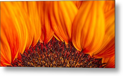 Metal Print featuring the photograph Gerbera On Fire by Adam Romanowicz