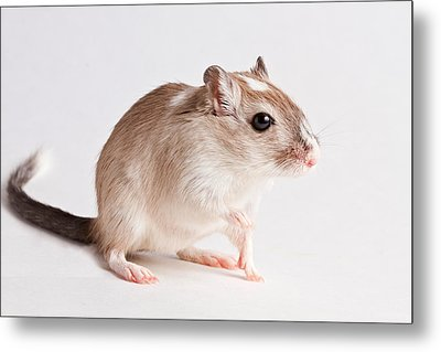 Metal Print featuring the photograph Gerbil Gerbillinae by David Kenny