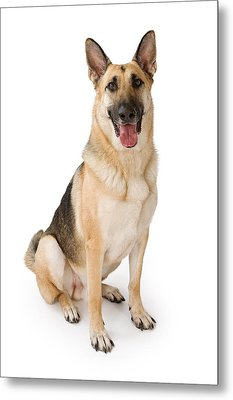 German Shepherd Dog Isolated On White Metal Print by Susan Schmitz