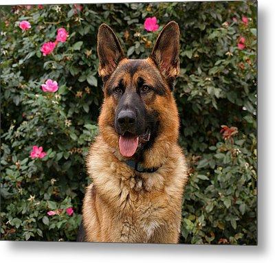 German Shepherd Dog Metal Print by Sandy Keeton