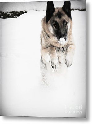 Metal Print featuring the photograph German Shepherd In The Snow by Tanya  Searcy
