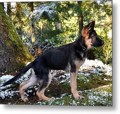 German Shepherd Pup Metal Print by Tanya  Searcy