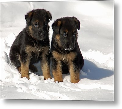 Metal Print featuring the photograph German Shepherd Pups by Aimee L Maher Photography and Art Visit ALMGallerydotcom