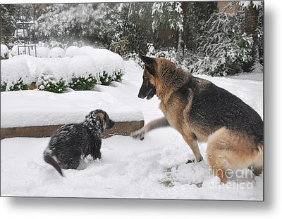Metal Print featuring the photograph German Shepherds Playing In The Snow by Tanya  Searcy
