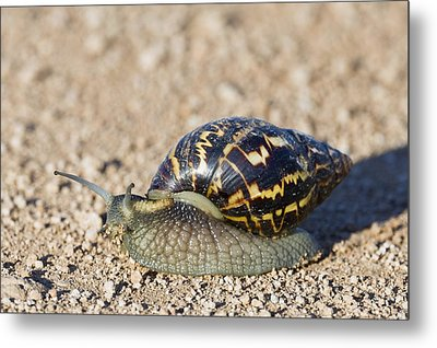 Giant African Land Snail Metal Print by Science Photo Library