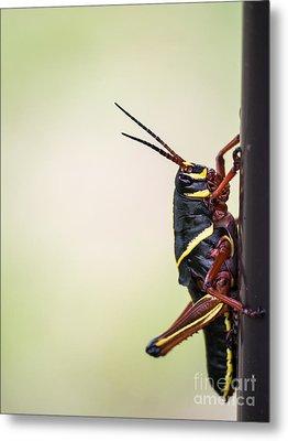 Giant Eastern Lubber Grasshopper Metal Print by Edward Fielding