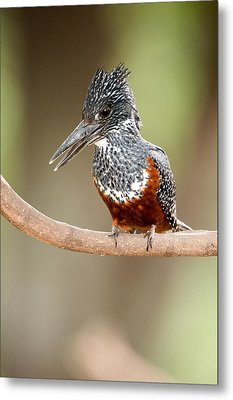 Giant Kingfisher Megaceryle Maxima Metal Print by Panoramic Images