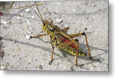 Metal Print featuring the photograph Giant Orange Grasshopper by Ron Davidson