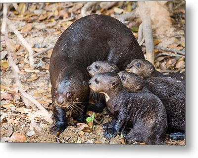 Giant Otter Pteronura Brasiliensis Metal Print by Panoramic Images