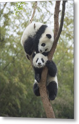 Giant Panda Cubs Playing Chengdu Metal Print by Katherine Feng