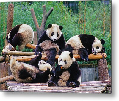 Metal Print featuring the photograph Giant Pandas by Dennis Cox ChinaStock