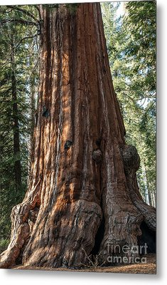 Giant Sequoia Metal Print