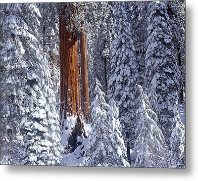 Giant Sequoia Trees Sequoiadendron Metal Print by Panoramic Images