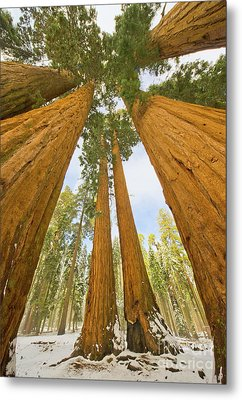 Giant Sequoias And First Snow Metal Print
