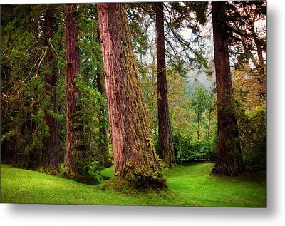 Giant Sequoias. Benmore Botanical Garden. Scotland Metal Print by Jenny Rainbow