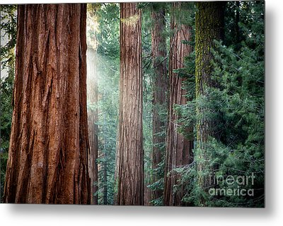 Giant Sequoias In Early Morning Light Metal Print