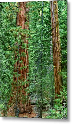 Giant Sequoias Sequoiadendron Gigantium Yosemite Np Ca Metal Print by Dave Welling