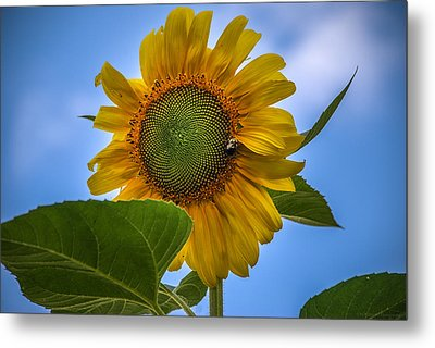 Metal Print featuring the photograph Giant Sunflower by Phil Abrams