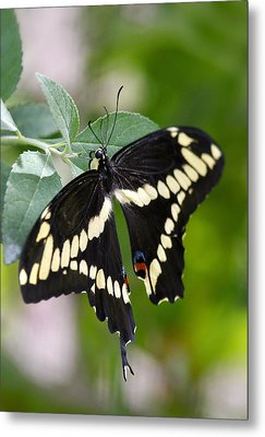 Giant Swallowtail Butterfly  Metal Print by Saija  Lehtonen