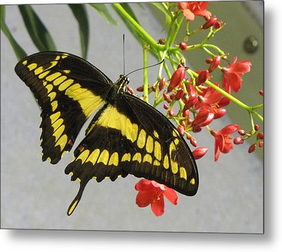 Metal Print featuring the photograph Giant Swallowtail by Jennifer Wheatley Wolf