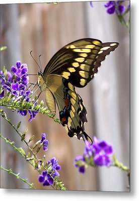 Giant Swallowtail On Goldendewdrop 1 Metal Print by Judy Wanamaker