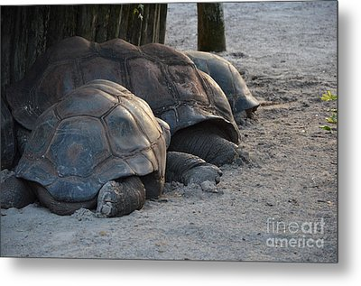 Metal Print featuring the photograph Giant Tortise by Robert Meanor
