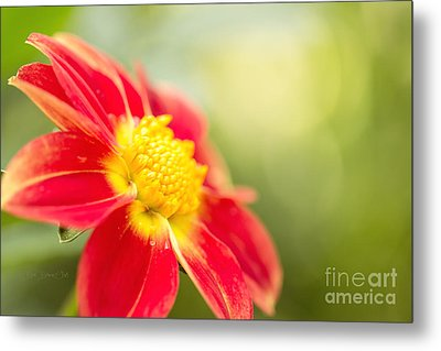 Ginger Metal Print by Beve Brown-Clark Photography