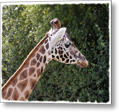 Giraffe 01 Metal Print by Paul Gulliver