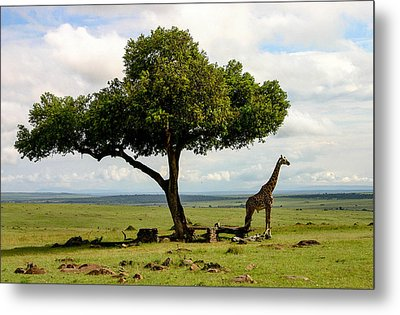 Giraffe And The Lonely Tree  Metal Print by Menachem Ganon