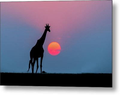 Giraffe At Sunset Chobe Np Botswana Metal Print by Andrew Schoeman