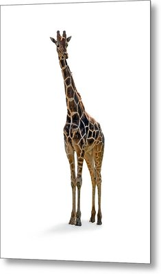Metal Print featuring the photograph Giraffe by Charles Beeler