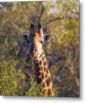 Giraffe Metal Print by Craig Brown