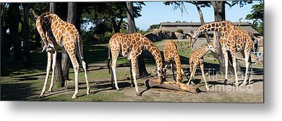 Giraffe Dsc2872 Long Metal Print by Wingsdomain Art and Photography